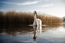 Free Swan Reflecting In Water Royalty Free Stock Photos - 96113748