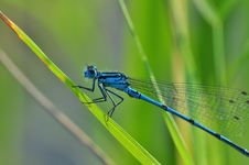 Free Blue Dragon Fly Stock Photos - 96113763