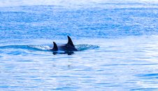 Free Swimming Orcas In Blue Waters Royalty Free Stock Image - 96113816