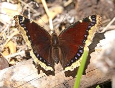 Free MOURNING CLOAK &x28;Nympahalis Antiopa&x29;&x28;6-1-2017&x29; Boulder Mt, Garfield Co, Ut -01 Stock Photo - 96113930