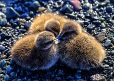 Free Young Ducklings On Pebbles Stock Photos - 96114003