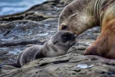 Free Seal With Newborn Pup Stock Photography - 96114092