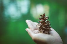 Free Pinecone On Hand Royalty Free Stock Photo - 96114215