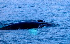 Free Whale Emerging From Sea Stock Image - 96114741