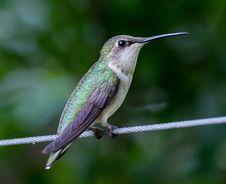 Free Hummingbird Royalty Free Stock Photography - 96118287