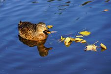 Free Close-up Of Duck Swimming In Lake Royalty Free Stock Photos - 96160658