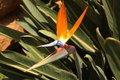 Free Bird Of Paradise Stock Photography - 9628412
