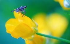 Fly On Buttercup Stock Photography
