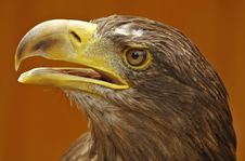 Free White-tailed Eagle Royalty Free Stock Images - 9620509