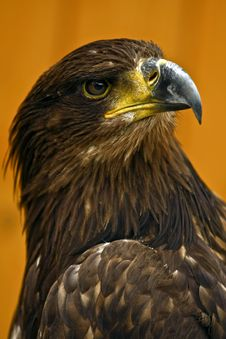 Free White-tailed Eagle Royalty Free Stock Photography - 9620557