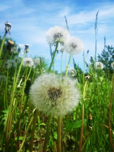 Free White Dandelions Stock Photography - 9620582