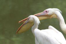 Free Pelicans Stock Image - 9621591