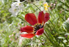 Free Open Orange Tulip Royalty Free Stock Photos - 9622788