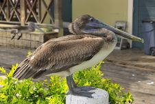 Free Brown Pelican Resting Stock Image - 9622791
