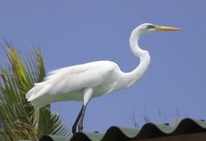 Free Great Egret Royalty Free Stock Photo - 9622815