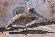 Free Lonley Brown Pelican Royalty Free Stock Photos - 9622868