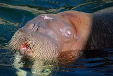 Free Sea Lion Mouth Stock Photography - 9623302