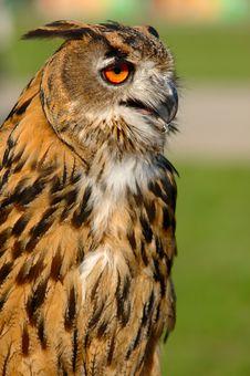 Eurasian Eagle Owl Stock Image