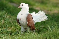 Free Dove On The Green Grass Royalty Free Stock Photo - 9623395