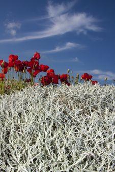 Free The Crimson Poppy In May. Stock Photos - 9623653