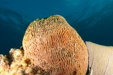 Free Brain Coral Stock Images - 9623794