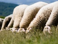Free Foraging Sheeps Stock Photography - 9624162