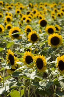 Free Sunflower Field Royalty Free Stock Photo - 9625155