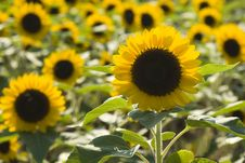 Free Sunflower Field Royalty Free Stock Image - 9625156