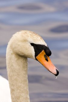 Free Elegant Swan On Lake Stock Images - 9625164