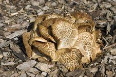 Free Mottled Bolete Mushroom Stock Images - 9627114