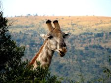 Free Giraffe Royalty Free Stock Photo - 9627575
