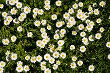 Free Daisy Carpet Stock Photography - 9627722