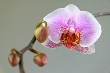 Free Orchid Stock Photo - 9627800