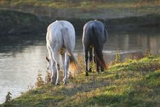 Free Horses Grazing Royalty Free Stock Photo - 9627995