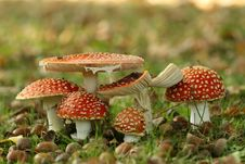 Free Group Of Toadstools Royalty Free Stock Photography - 9628067