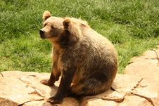 Free Kodiak Bear Stock Photos - 9628073