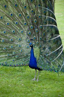 Free Flamboyant Peacock Stock Photo - 9628370