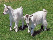 Free Baby Goats Stock Image - 9628921