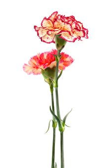 Free Two Carnation Royalty Free Stock Image - 9629576