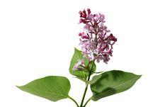 Free Lilac Stock Photos - 9629783