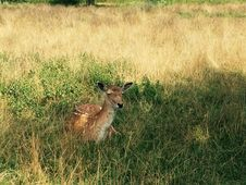 Free Deer Sitting In A Field Stock Image - 96215481