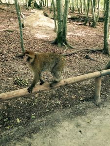 Free Monkey On Perch Royalty Free Stock Photography - 96215527