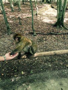 Free Monkey Eat Popcorn Royalty Free Stock Photography - 96215667