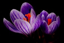 Free Flower, Crocus, Plant, Purple Royalty Free Stock Photography - 96250027