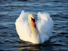Free Swan, Bird, Water Bird, Ducks Geese And Swans Royalty Free Stock Photo - 96250285