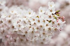 Free Flower, Blossom, Pink, Cherry Blossom Stock Photography - 96250422