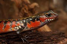 Free Reptile, Lizard, Scaled Reptile, Terrestrial Animal Stock Photography - 96256742