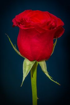 Free Flower, Red, Rose, Rose Family Royalty Free Stock Image - 96256976