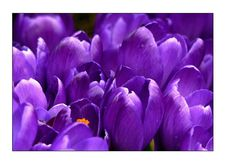 Free Flower, Violet, Crocus, Purple Royalty Free Stock Photography - 96257857