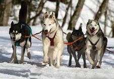 Free Dog, Dog Like Mammal, Sled Dog, Sakhalin Husky Stock Photos - 96258323